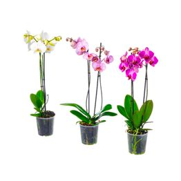 Orquideas-colombianas